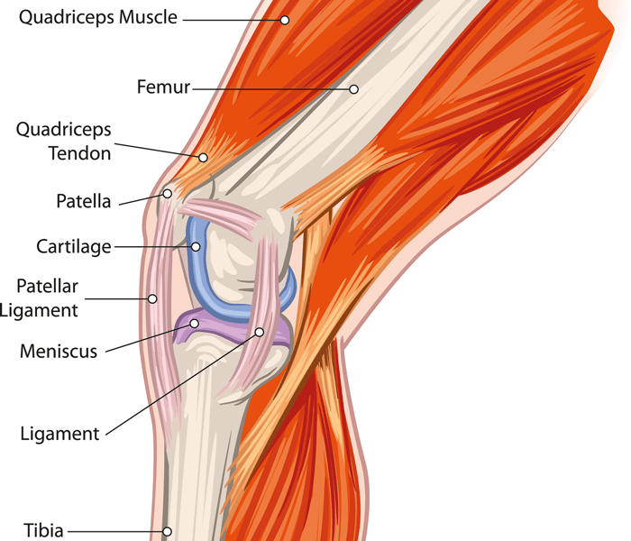 Anatomy of a Knee - Physical Therapy Knee Exercises